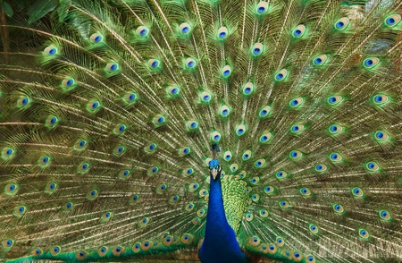 blue peafowl: beautiful peacock Stock Photo