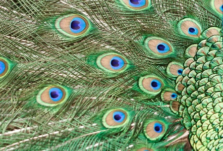 beautiful vivid peacock feathers photo