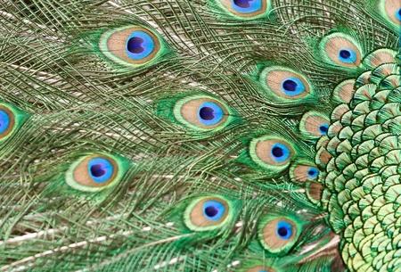 beautiful vivid peacock feathers photo