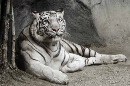 big white tiger lying on the floor photo