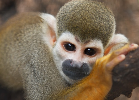 Squirel Monkey;a Common Squirrel Monkey  Saimiri sciureus  photo