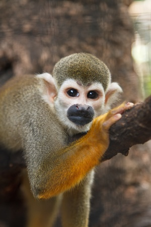 ranging: Squirel Scimmia, un Common Squirrel Monkey Saimiri sciureus Archivio Fotografico