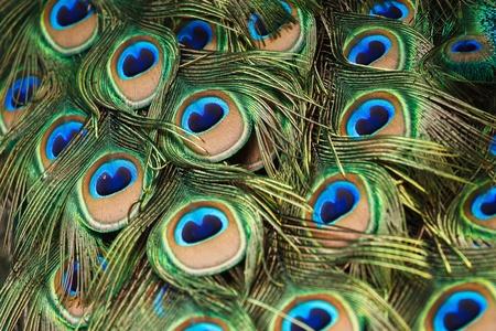 plumas de pavo real: hermosas plumas de pavo real vivos