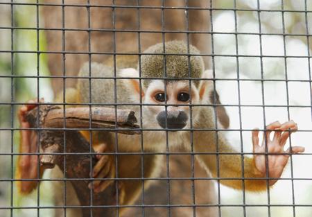 sciureus: squirrel Monkey ;Saimiri sciureus in metal cage