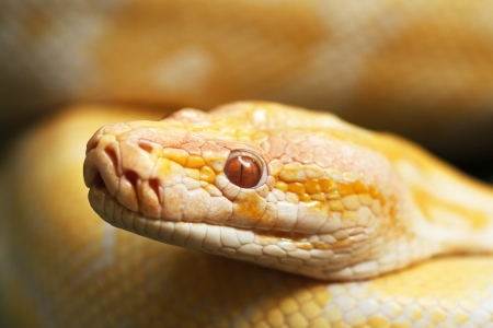 closed up albinos Boa Constrictor photo