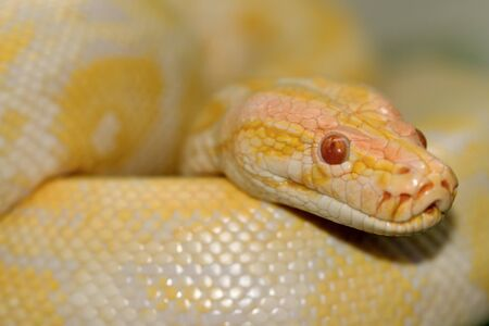 constrictor: Closed up albino Boa Constrictor Stock Photo