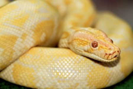 Albinos Boa Constrictor photo
