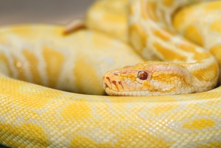Albinos Boa Constrictor Stock Photo - 13732509