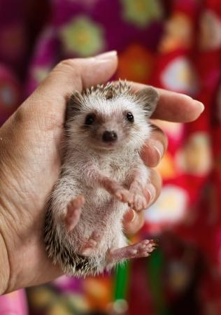 pygmy:  African pygmy hedgehog, hand holding hedgehog