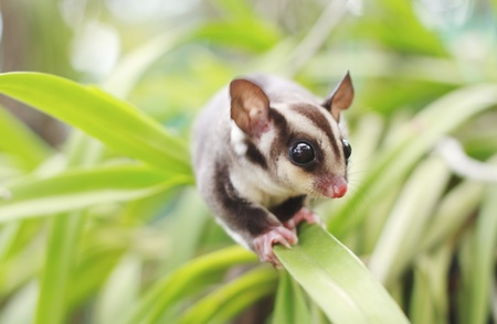 sugarglider climb on the tree photo