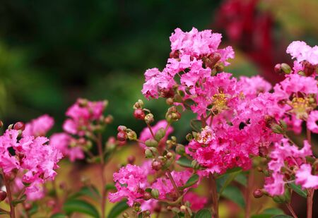 Purple Crepe Myrtle blossoms in the summer , Lagerstroemia sp photo