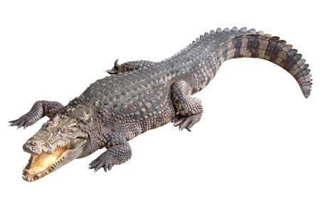 Crocodile isolated on white blackground photo