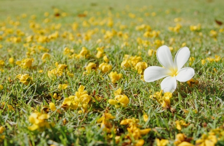 Plumeria and yellow flower on green grass photo