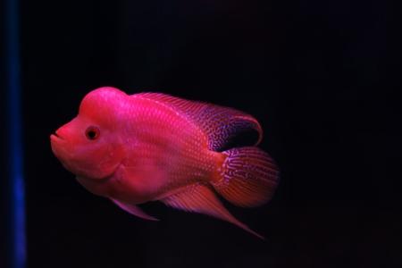 aquarium fish, flower horn fish on black background photo