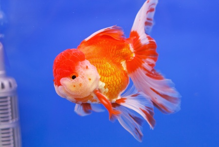 Goldfish in in blue screen Stock Photo - 14323026