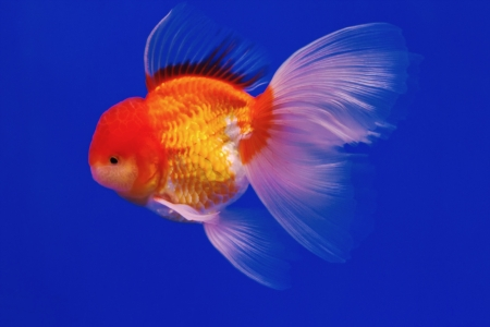 Goldfish in in blue screen Stock Photo - 14323024