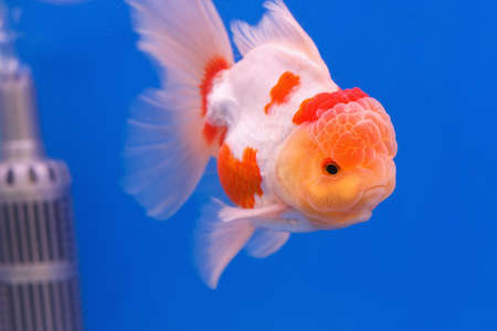Goldfish in in blue screen photo