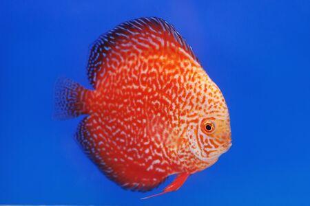 pompadour fish  photo