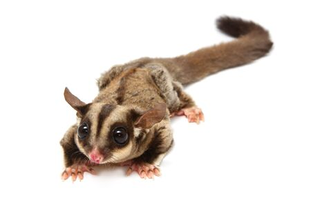A close up of a sugar glider looking photographer on  isolate photo