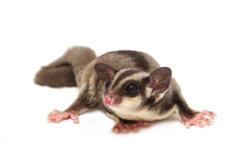 A close up of a sugar glider lying on the floor in isolate photo