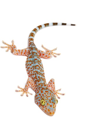young gecko on white background Stock Photo - 15372655