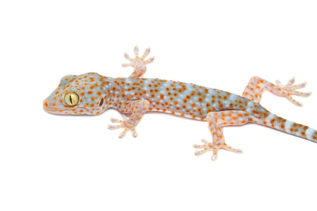 young gecko on white background  photo