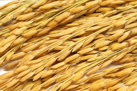 close up paddy jasmine  rice on white background photo