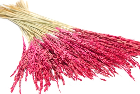 close up pink paddy  rice, Dry flower decoration on white background photo