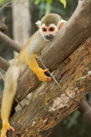 amazon rainforest: Squirel Monkey;a Common Squirrel Monkey (Saimiri sciureus)