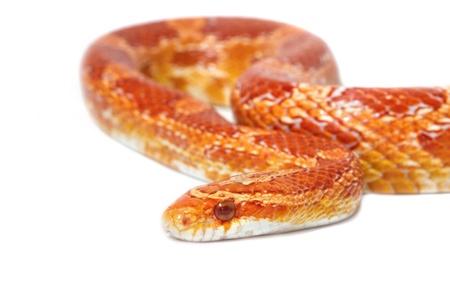 Albino corn snake on white background photo