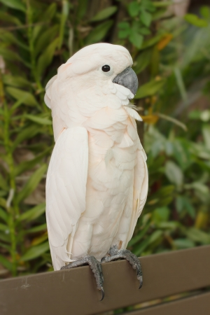 Pink-crested Cockatoo  photo