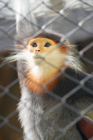 Leaf Monkey,Red-shanked Douc (Pygathrix nemaeus) in the cage, The five color of Leaf Monkey photo