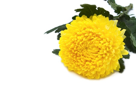 Yellow chrysanthemum isolated on white photo