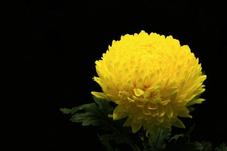 Yellow chrysanthemum isolated on black background Stock Photo - 16295628