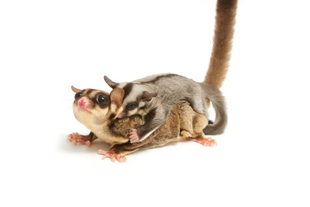 cling: sugar-glider mom and little joey cling back on white background