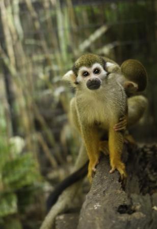 sciureus: Squirrel Monkey;a Common Squirrel Monkey (Saimiri sciureus)