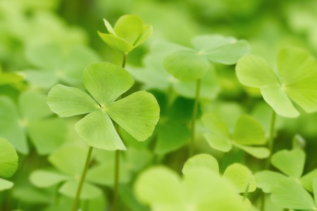 Green Clover leaf background photo