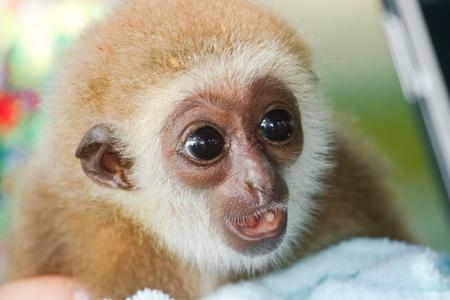 Gibbons orphaned children Stock Photo