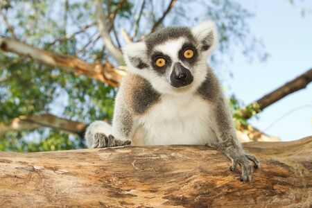 Ring-tailed lemur sitting on the tree photo