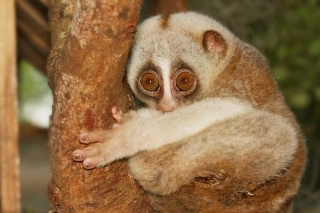 vertragen loris aap klim op de boom
