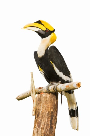 hornbill: Male Wreathed  Hornbill on white background