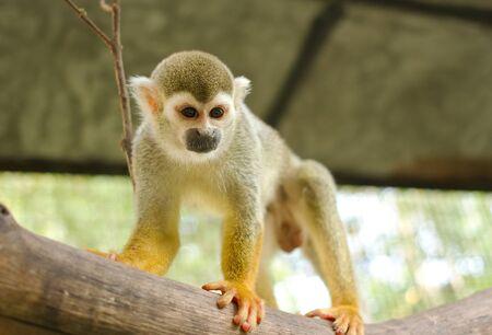 sciureus: Squirrel Monkey;Common Squirrel Monkey on a branch (Saimiri sciureus,shallow DOF)