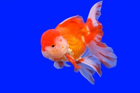 ranchu: Goldfish in in blue screen Stock Photo