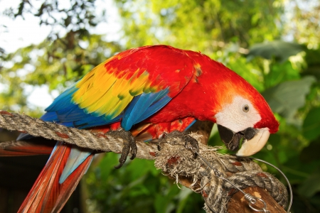 Scarlet macaws in nature Stock Photo