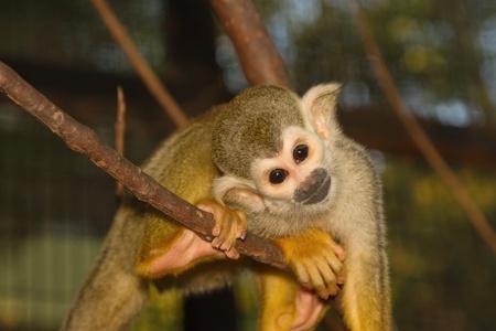sciureus: Squirrel Monkey on a branch  Saimiri sciureus,shallow DOF