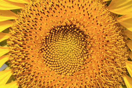 Closeup of sun flower blooms use for background Stock Photo
