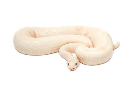 ball python: Snow Albino Ball Python (Python regius) on white background