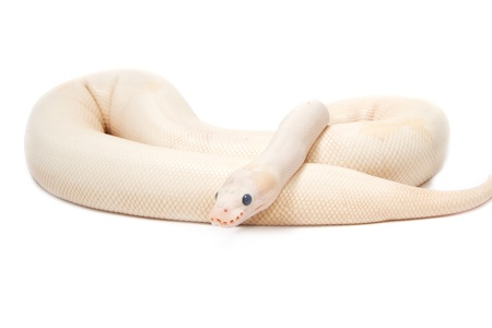 albino: Snow Albino Ball Python (Python regius) on white background