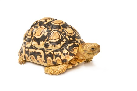 African spurred sulcata Tortoise, Geochelone sulcata,  on white background photo