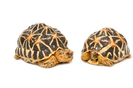 Two Indian Starred Tortoise  on white backgroung